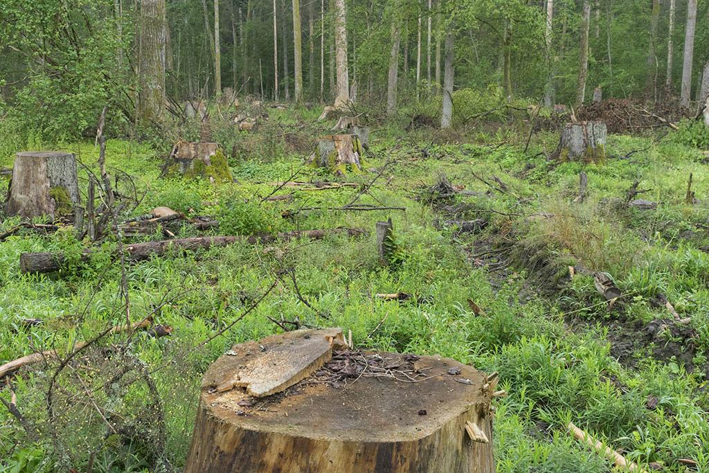 Białowieża: foresta distrutta dal disboscamento