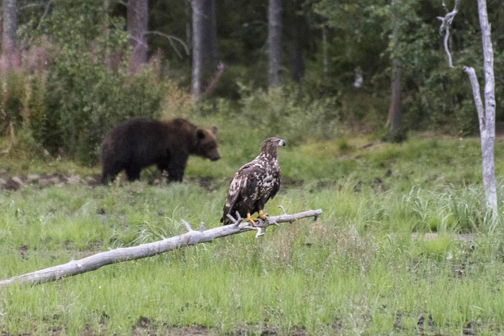 Aquila di mare e orso bruno a Kuusamo in Finlandia