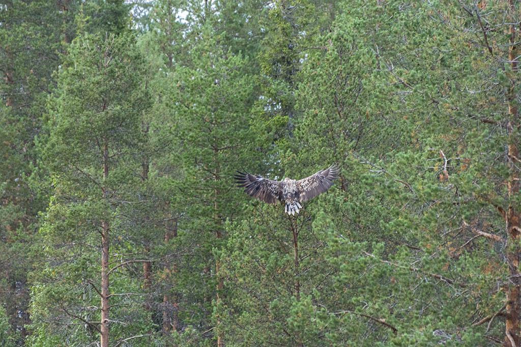 Aquila di mare in volo a Kuusamo in Finlandia
