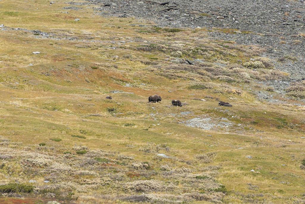 branco buoi muschiati parco dovrefjell norvegia