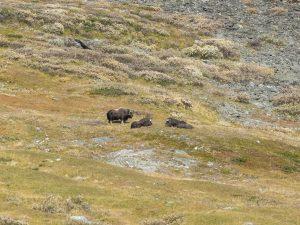 bue muschiato parco dovrefjell norvegia