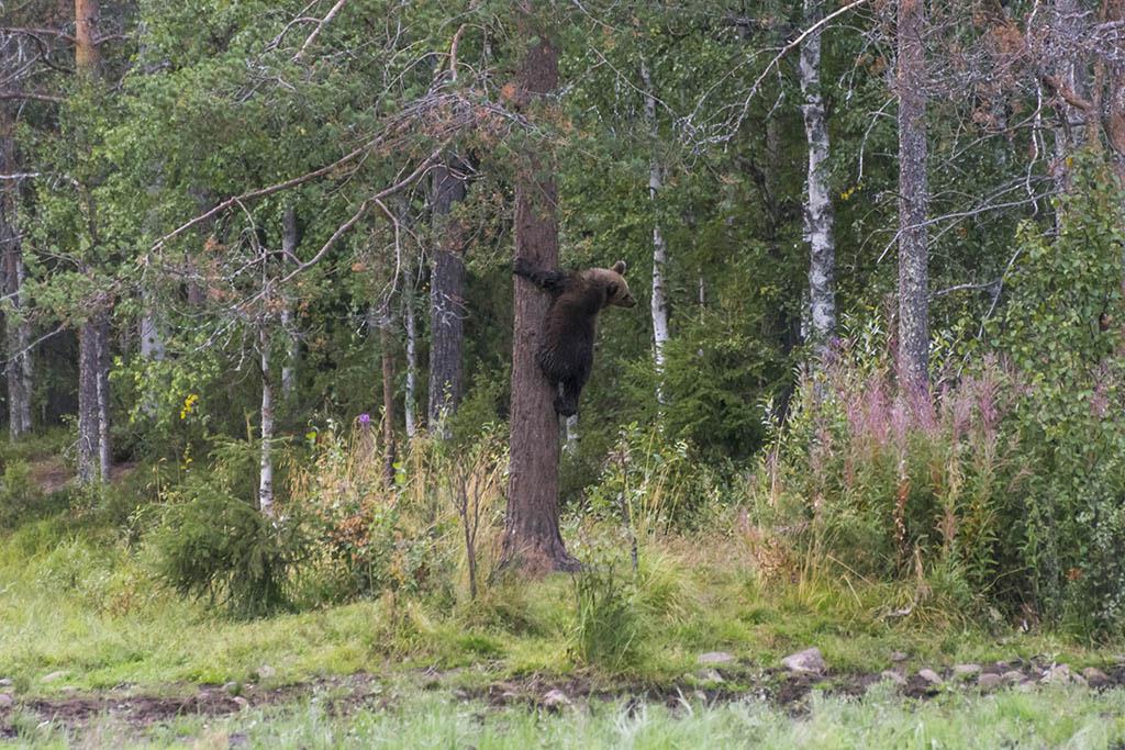 Cucciolo di orso arrampicato su albero a Kuusamo in Finlandia