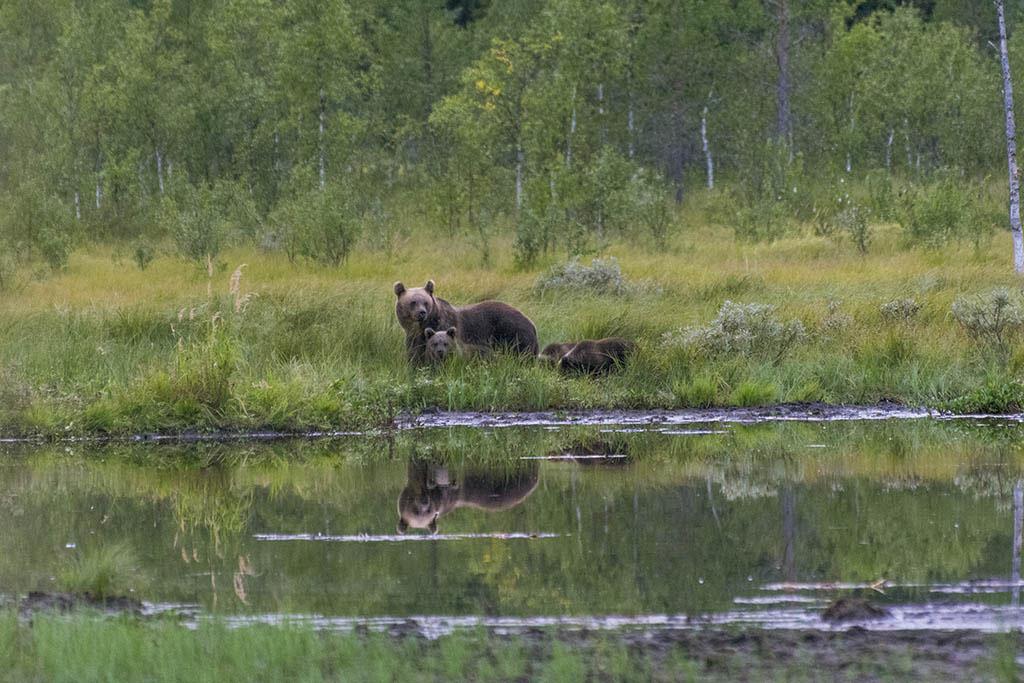 Femmina di orso con piccoli a Kuusamo in Finlandia