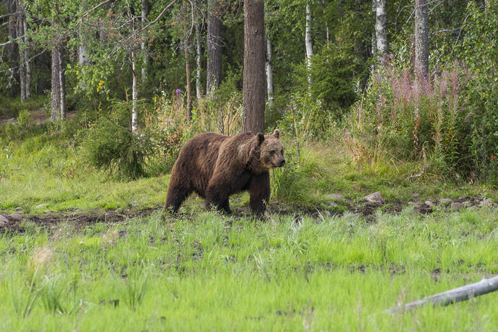 Maschio di orso bruno a Kuusamo in Finlandia