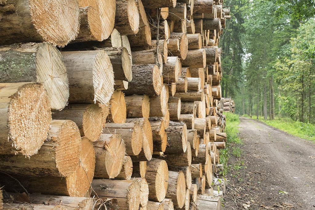 Białowieża: migliaia di alberi tagliati